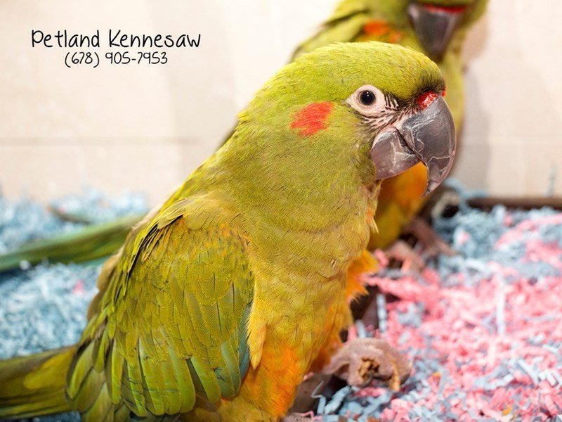 Red Fronted Macaw-Female-Green-1912498-Petland Kennesaw
