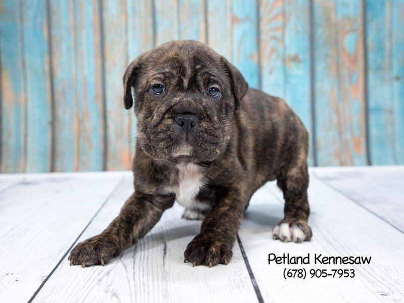 Adopted Male Bully-Pei 75297