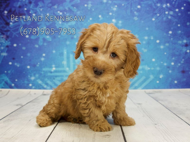 Goldendoodle Mini 2nd Gen-Male-Apricot-1964396-Petland Kennesaw