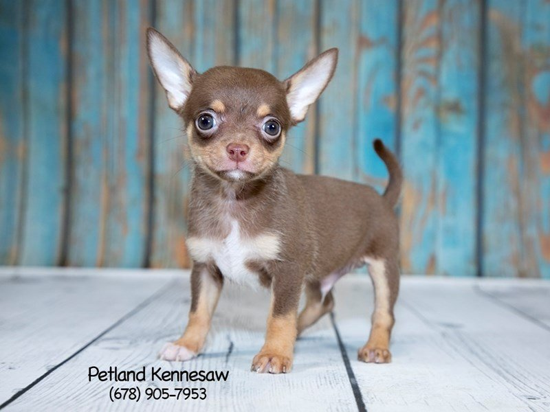 Chihuahua For Sale Could This Pint Sized Breed Be Right For You