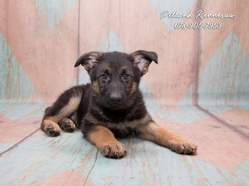 German Shepherd Puppies For Sale Unparalleled For Protection And