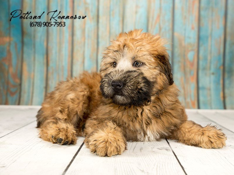 Our Soft Coated Wheaten Terriers For