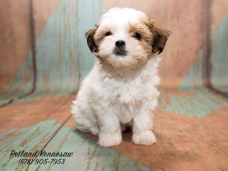 Buy Teddy Bear Puppies For Sale In Illinois