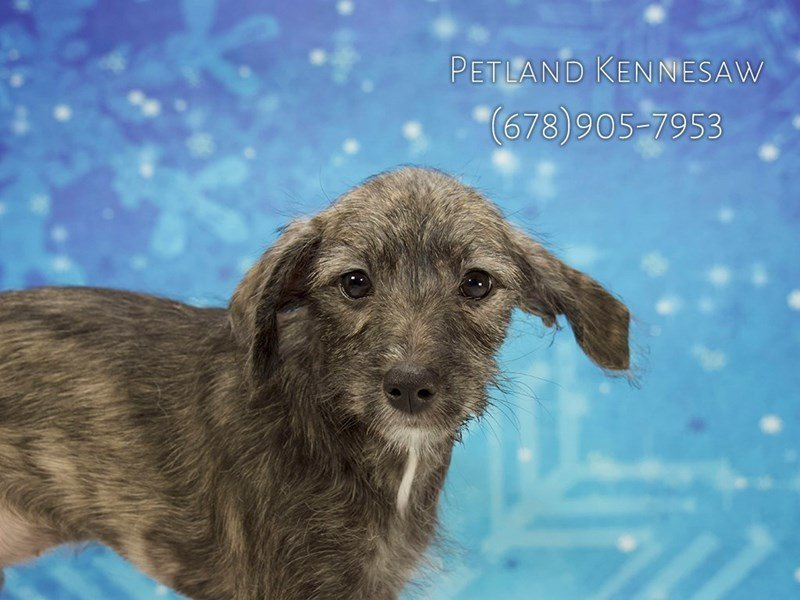 Schnoodle-Female-Brindle-1964403-Petland Kennesaw