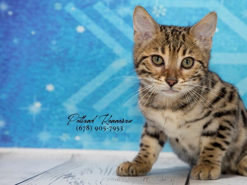 Petland Cats For Sale