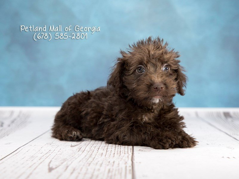 Schnoodle-Male-Chocolate-1974047-Petland Kennesaw