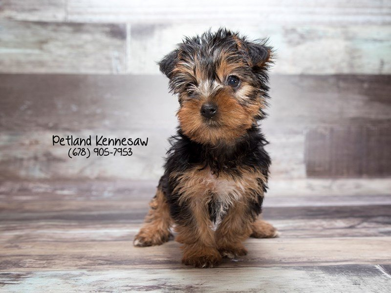 Adopted Female Yorkshire Terrier 76210