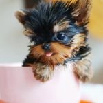 teacup puppies