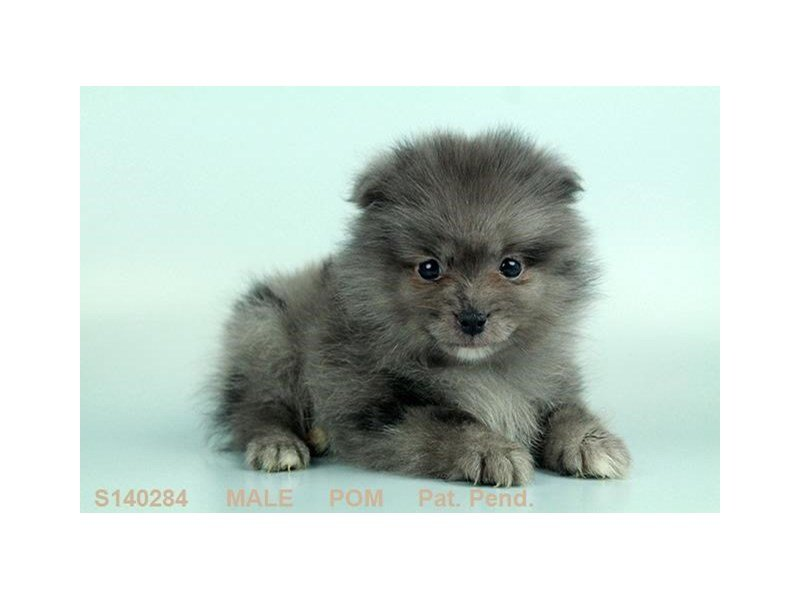 Adopted Male Pomeranian 76689