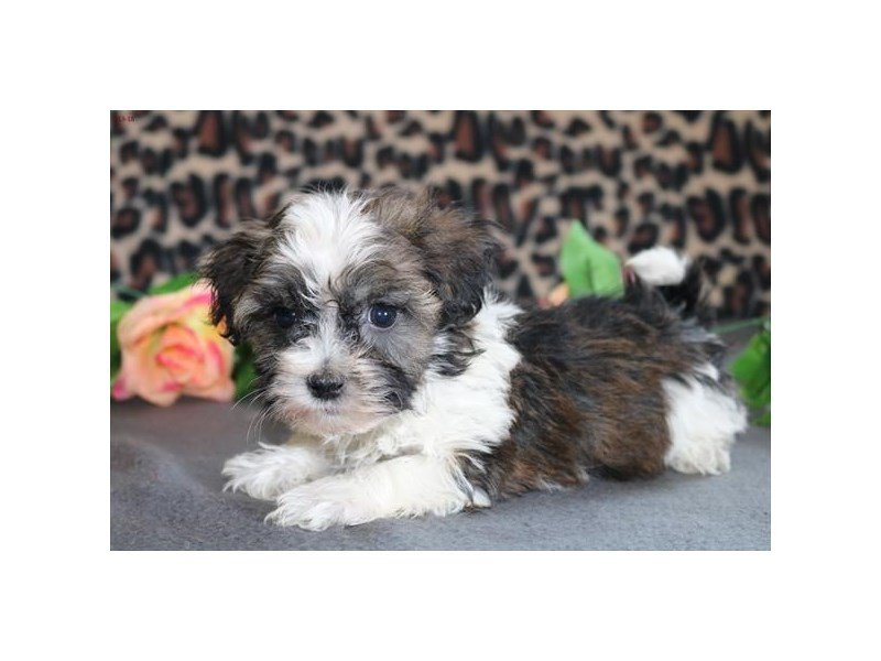Adopted Female Havanese 76816