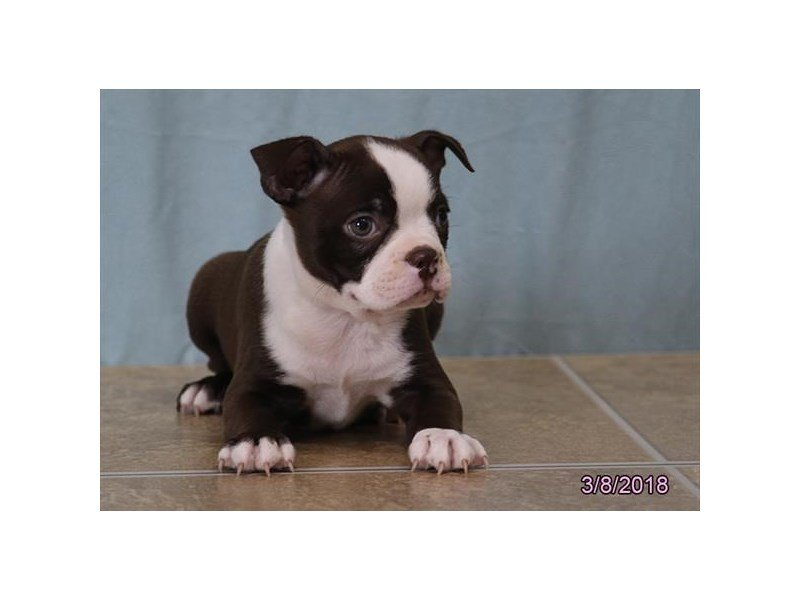 Boston Terrier-DOG-Female-Chocolate / White-2031638-Petland Kennesaw