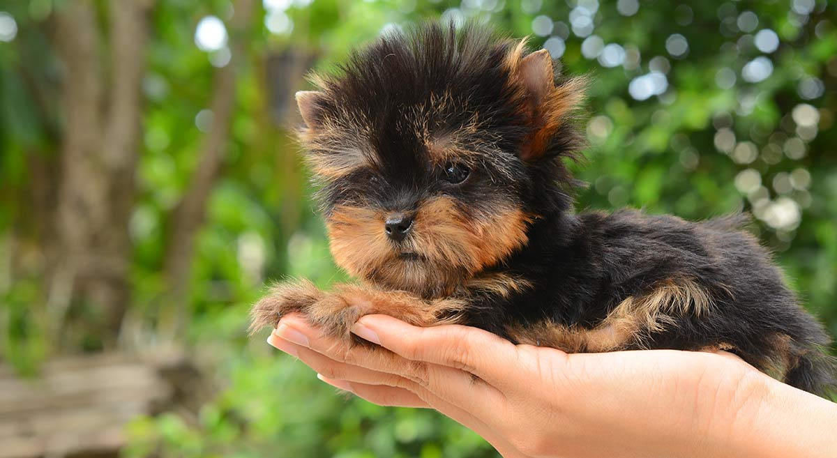 Teacup Yorkies Information You Should Know Petland Kennesaw