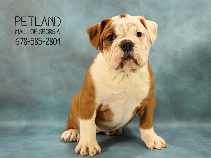 Victorian Bulldog-Female-Red-2070336-Petland Kennesaw