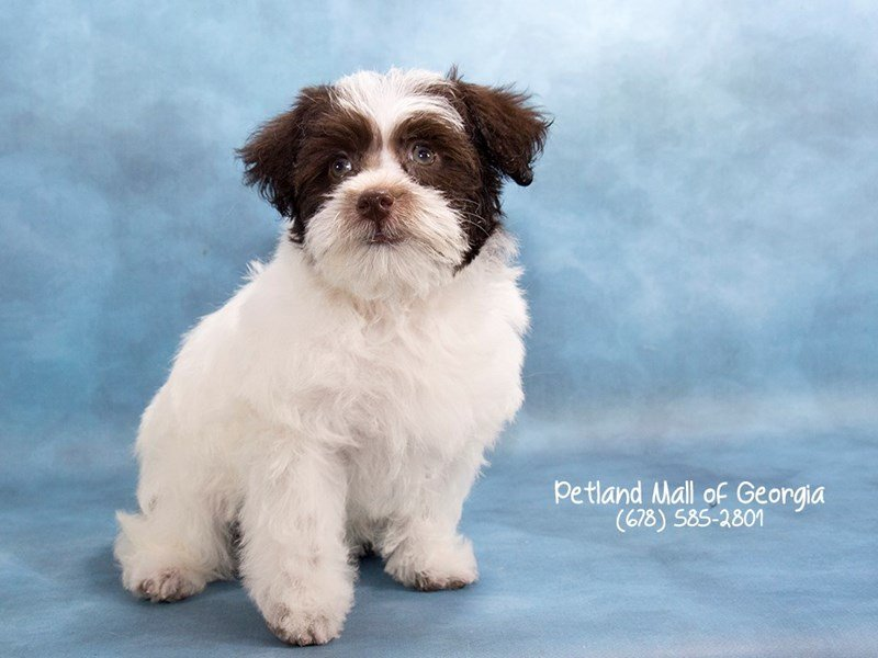 Schnoodle-Female-chlt & wh-2077270-Petland Kennesaw