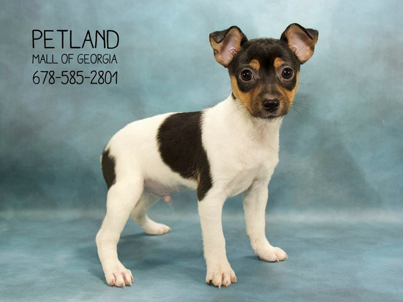 Toy Fox Terrier-Male-WH BLK & TN-2088950-Petland Kennesaw