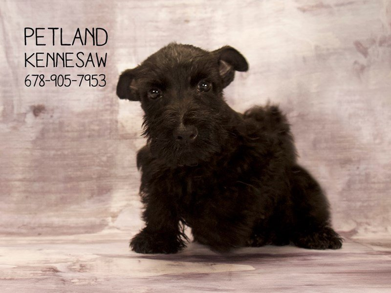 Scottish Terrier-Female-BLK-2089295-Petland Kennesaw