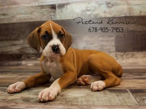 Beautiful Boxer Puppies For Sale Petland Kennesaw
