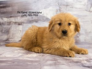 golden retriever petland Kennesaw