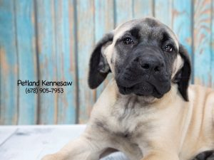 Interesting Facts About Mastiff Puppies Petland Kennesaw