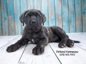mastiff puppy kennesaw