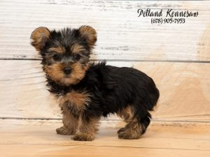 7 Fun Facts About Yorkshire Terrier Puppies Petland Kennesaw