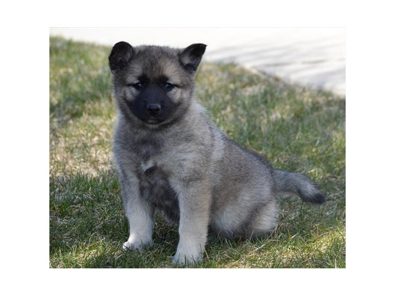 Adopted Female Norwegian Elkhound 78343