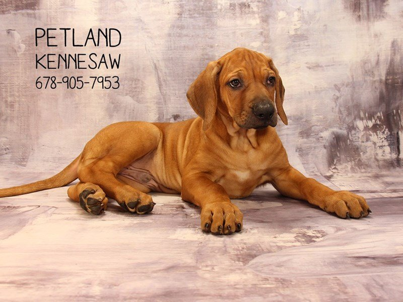 Rhodesian Ridgeback-Male-Red Wheaten-2085365-Petland Kennesaw