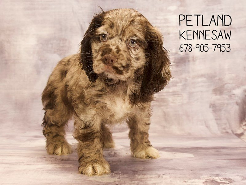 Cocker Spaniel-DOG-Male-Chocolate Merle-2088724-Petland Kennesaw