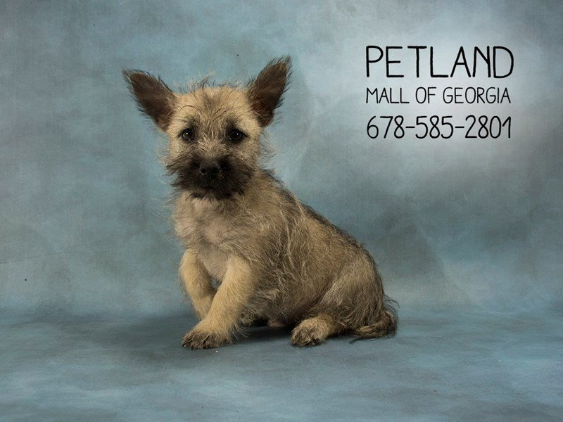 Cairn Terrier-Male-Wheaten-2100265-Petland Kennesaw