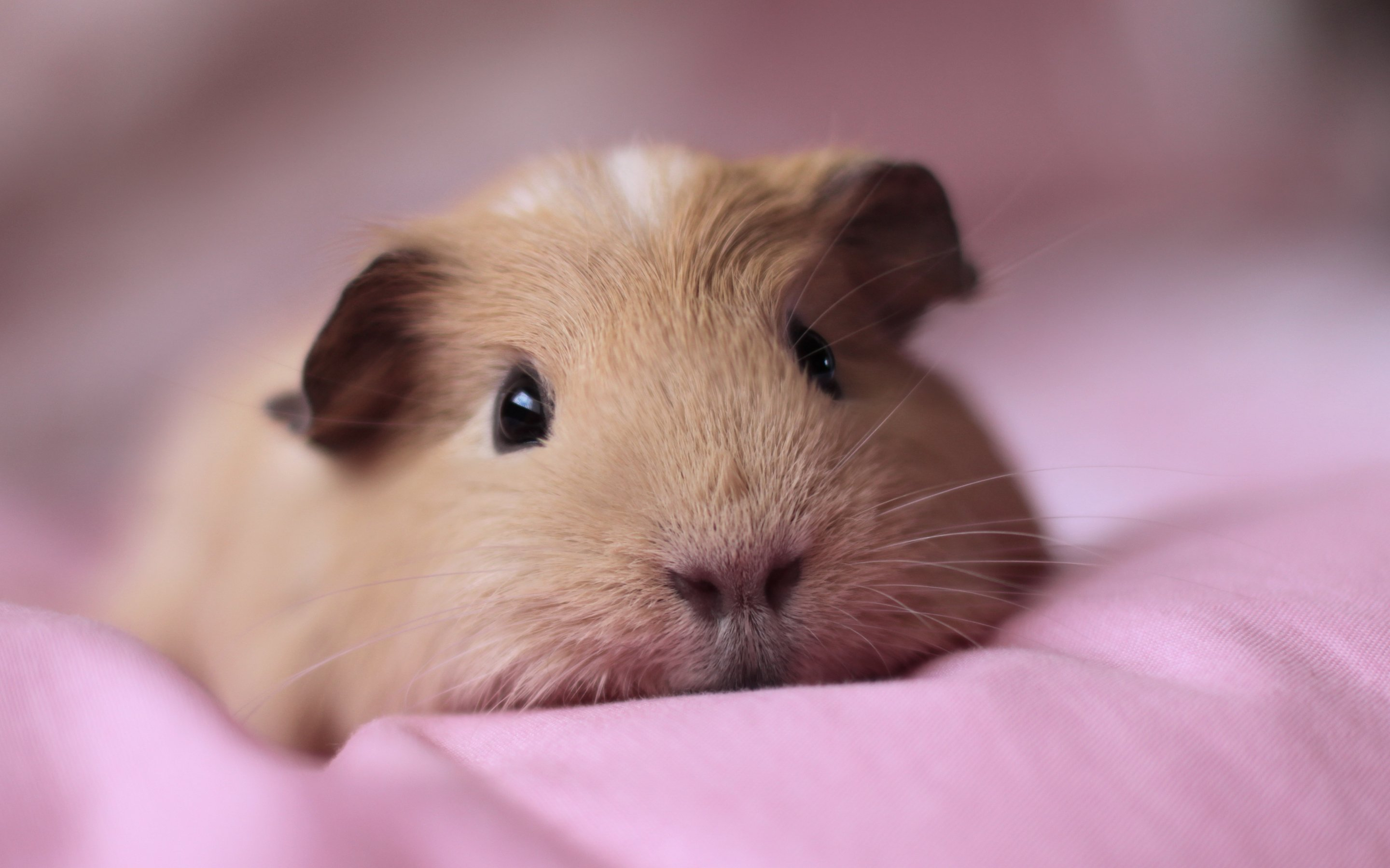 Adorable Guinea Pigs are here at Petland Kennesaw!