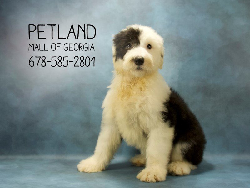 Adopted Female Old English Sheepdog 78886