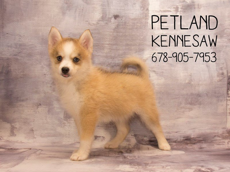 Pomsky-DOG-Female-Red / White-2115611-Petland Kennesaw