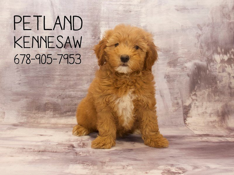 Goldendoodle Mini 2nd Gen-Female-rd-2111732-Petland Kennesaw