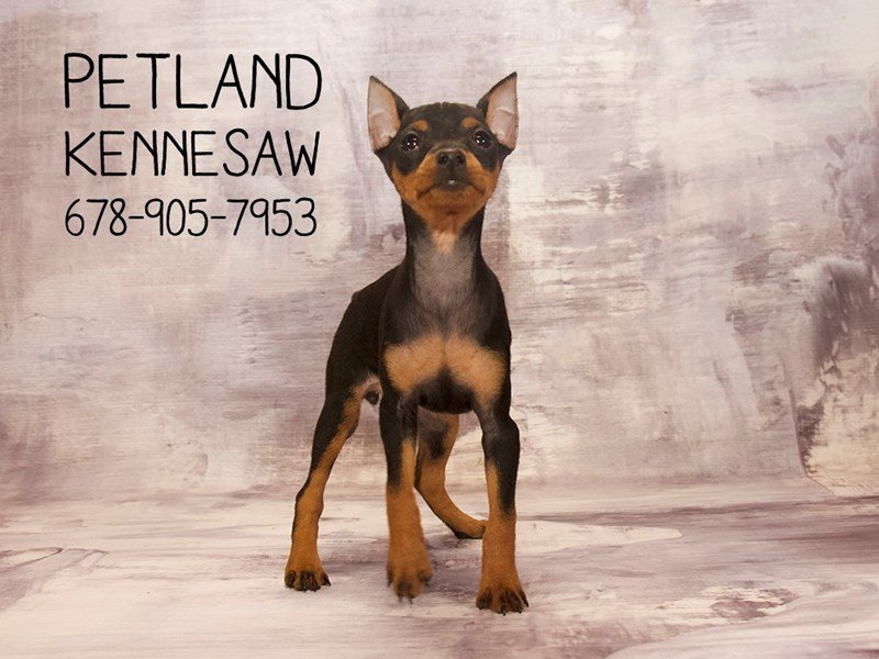 Miniature Pinscher-Female-Black / Rust-2120441-Petland Kennesaw