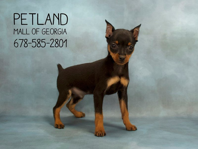 Miniature Pinscher-Male-Black / Rust-2121111-Petland Kennesaw