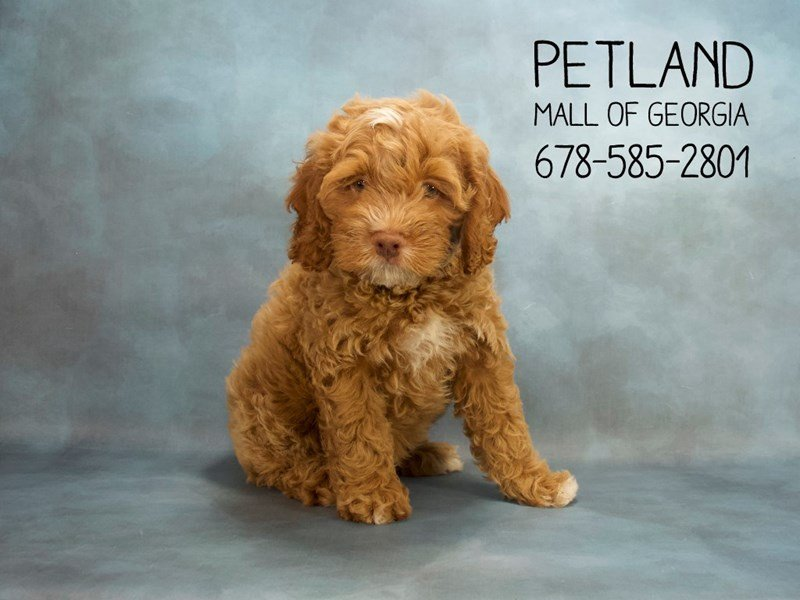 Cock A Poo-DOG-Male-Red-2121114-Petland Kennesaw