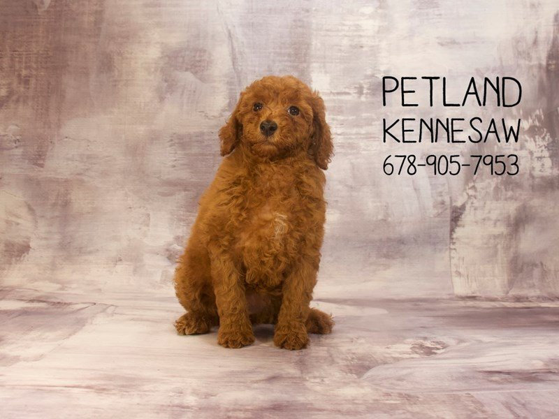 Goldendoodle Mini 2nd Gen-Female-Golden-2129668-Petland Kennesaw