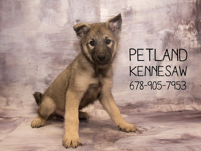 Norwegian Elkhound-Male-BLK & SLVR-2114486-Petland Kennesaw