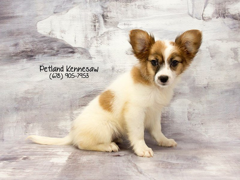 Papillon-Female-Sable / White-2125915-Petland Kennesaw