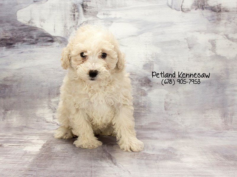 Bichon Poo-Female-CREAM WHITE-2124286-Petland Kennesaw