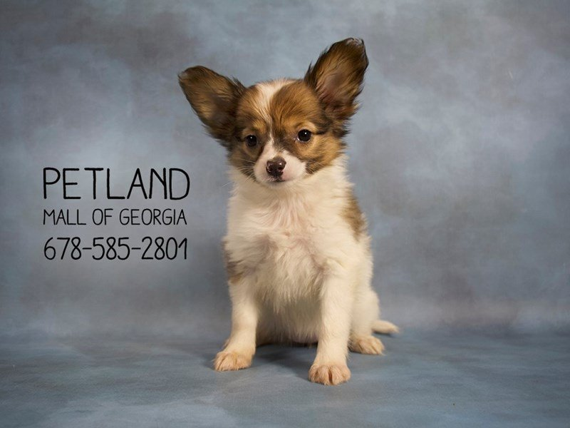 Papillon-Female-sable wh-2139511-Petland Kennesaw