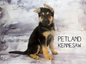 Petland Has Sweet Puppies For Sale Petland Kennsaw
