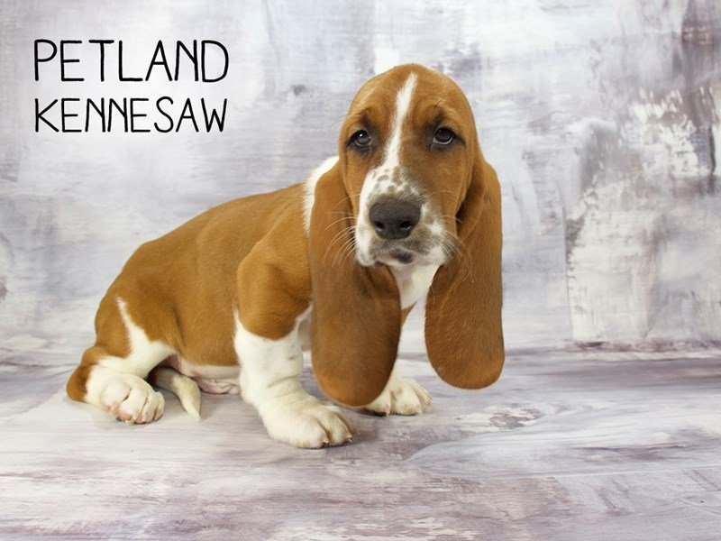 Basset Hound-Male-Red / White-2177005-Petland Kennesaw