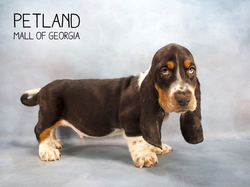 Basset Hound-Male-Tri-Colored-2186658-Petland Kennesaw