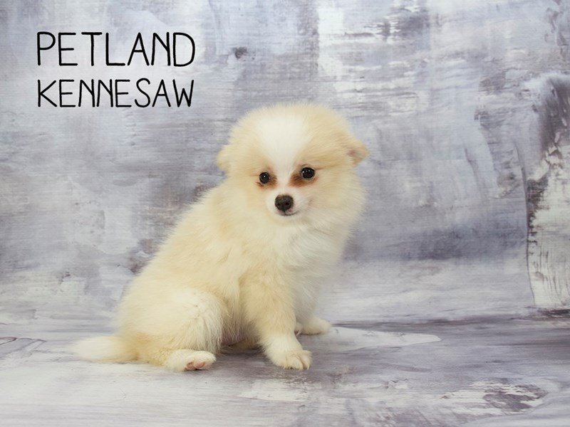 Adopted Male Pomeranian 80220