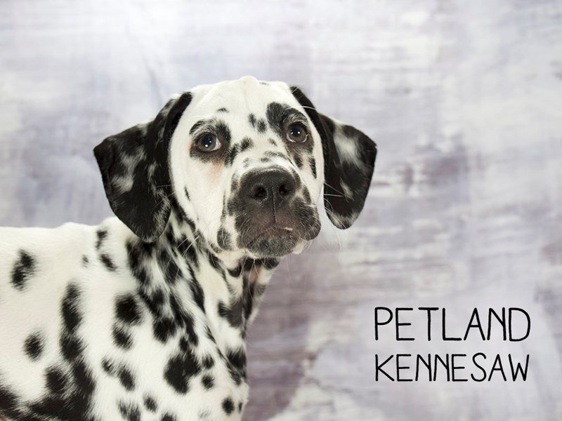Dalmatian-Female-White / Black-2186633-Petland Kennesaw