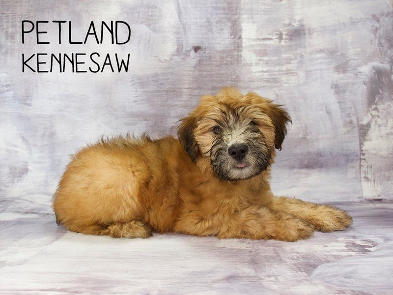 Soft Coated Wheaten Terrier-DOG-Male-Wheaten-2186640-Petland Kennesaw