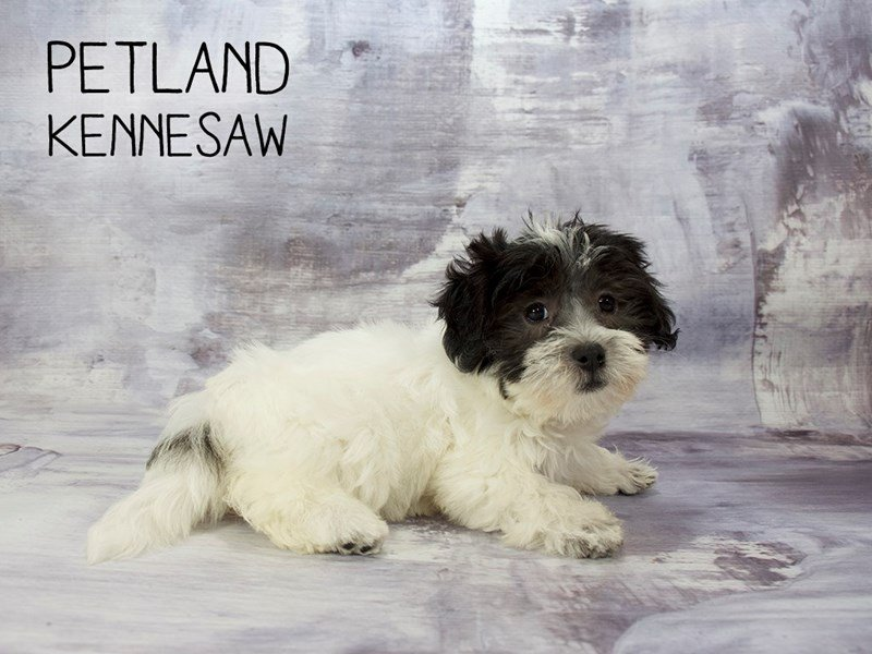 Coton De Tulear-Female-Black / White-2186638-Petland Kennesaw