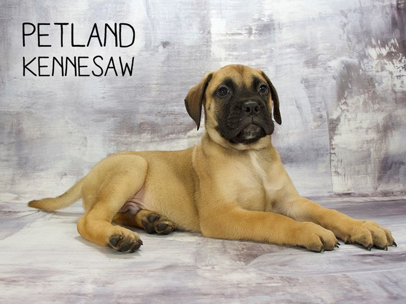Bullmastiff-Male-Red Fawn-2186632-Petland Kennesaw