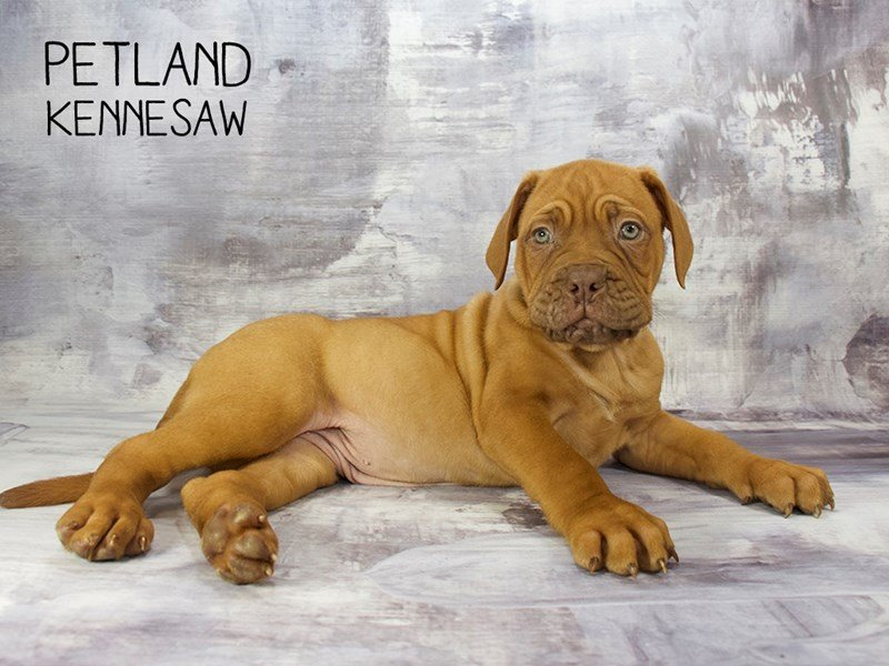 Dogue De Bordeaux-Female-RD-2200329-Petland Kennesaw
